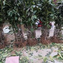 山東墾利矮化櫻桃樹基地批發報價圖片