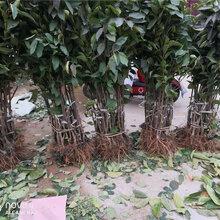 重慶北碚俄八大櫻桃樹賣的價格