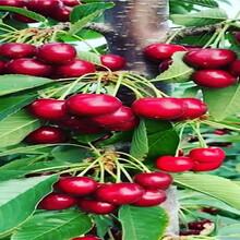 美早櫻桃樹苗栽種技術圖片