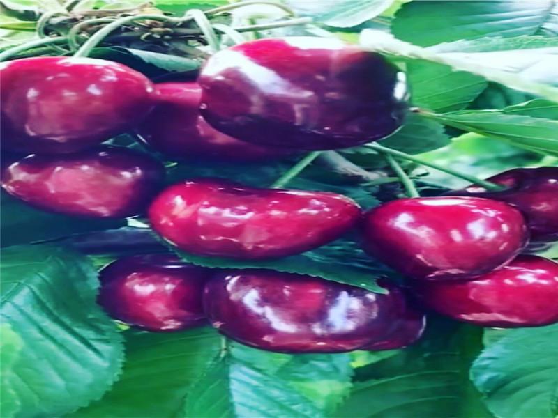 河南平頂山新品種櫻桃樹這里賣的好