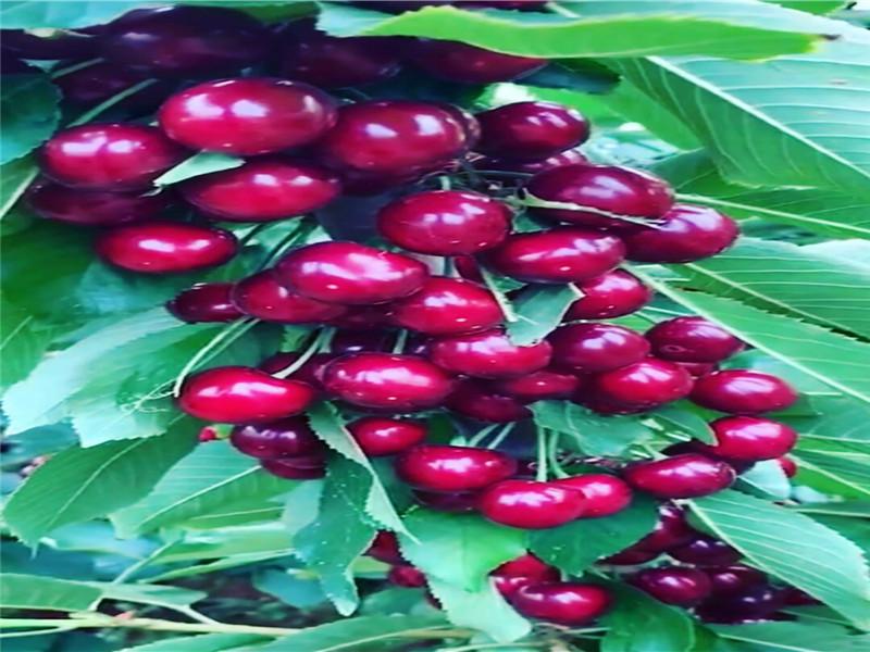 安徽宣城美早櫻桃樹苗栽種技術