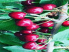甘肅慶陽新品種櫻桃樹要賣多少錢一棵