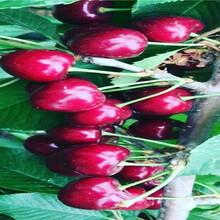 重慶萬盛俄八櫻桃樹苗批發價格圖片