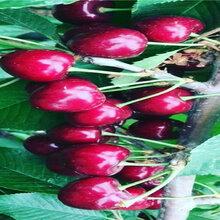 挂果美早樱桃树苗品种介绍图片