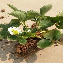 章姬草莓苗送貨報價、章姬草莓苗栽種技術圖片