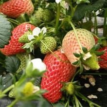 露天草莓苗賣的價格、露天草莓苗多錢一棵圖片