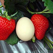 章姬草莓苗這里賣的價格、章姬草莓苗出售價錢圖片