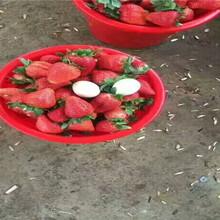 章姬草莓苗送貨報價、章姬草莓苗主產區售價圖片