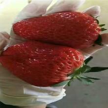 全明星草莓苗賣的價格、全明星草莓苗品種介紹圖片