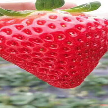 紅顏草莓苗這里賣的價格、紅顏草莓苗育苗基地報價圖片
