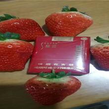 陸地草莓苗近期價格、陸地草莓苗出售價錢圖片
