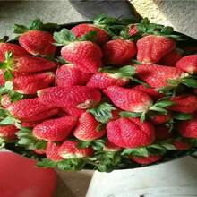 草莓苗近期批發價格、草莓苗品種介紹圖片