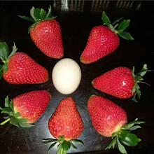 牛奶草莓苗近期報價、牛奶草莓苗栽種技術圖片