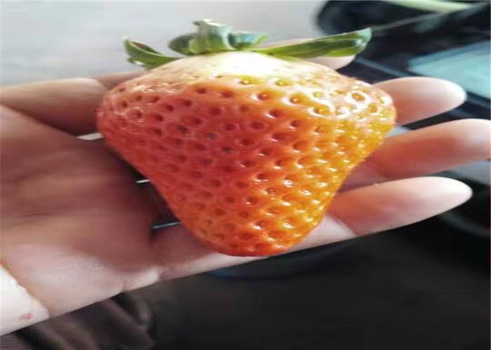 草莓種苗批發價格、草莓種苗栽種技術