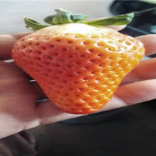 草莓苗樹苗地方有、草莓苗育苗基地報價圖片