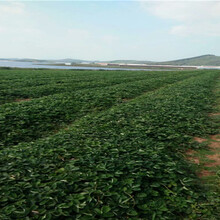 草莓苗近期批發價格、草莓苗主產區售價圖片