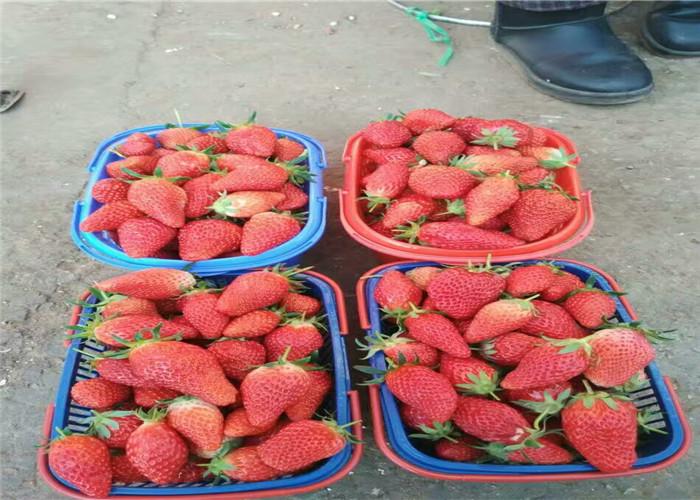 草莓苗供應廠家價格、草莓苗育苗基地報價