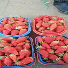 草莓種苗這里賣的好、草莓種苗基地批發報價圖片