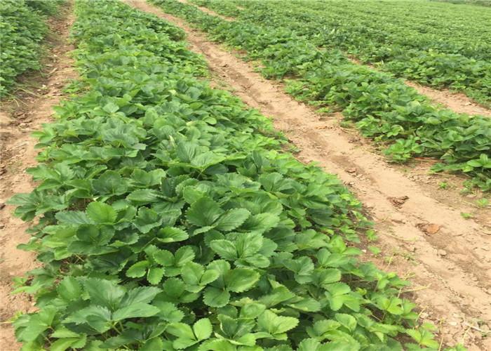 草莓種苗樹苗地方有、草莓種苗基地批發報價
