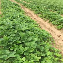 甜寶草苗產量和栽種技術、甜寶草苗栽種技術圖片