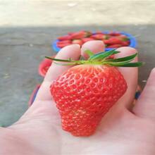 露天草莓苗采購批發價、露天草莓苗主產區價格圖片