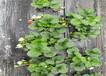 章姬草莓苗育苗基地賣價、章姬草莓苗基地批發報價