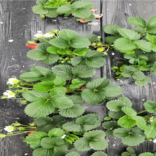 大棚草莓苗產量和栽種技術、大棚草莓苗基地批發報價圖片