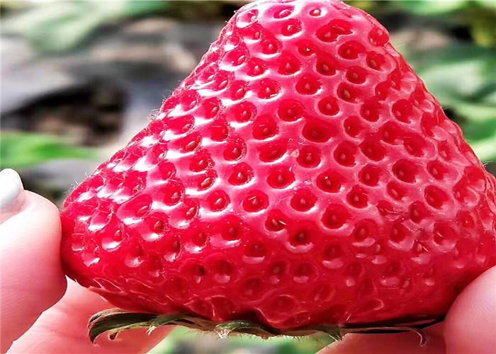 妙香草莓苗廠家聯系電話、妙香草莓苗育苗基地報價