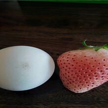 全明星草莓苗供應廠家價格、全明星草莓苗栽種技術圖片