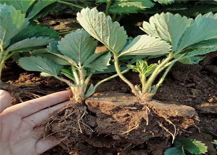 章姬草莓苗育苗基地賣價、章姬草莓苗多錢一棵