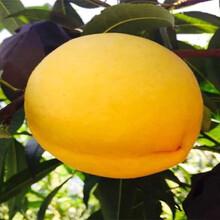 品種介紹36-5蟠桃樹苗、36-5蟠桃樹苗基地批發報價圖片