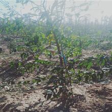 重慶云陽早熟油桃苗這里賣的好圖片