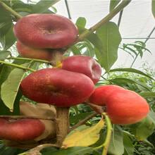 貴州貴陽6-05油桃苗近期批發價格圖片