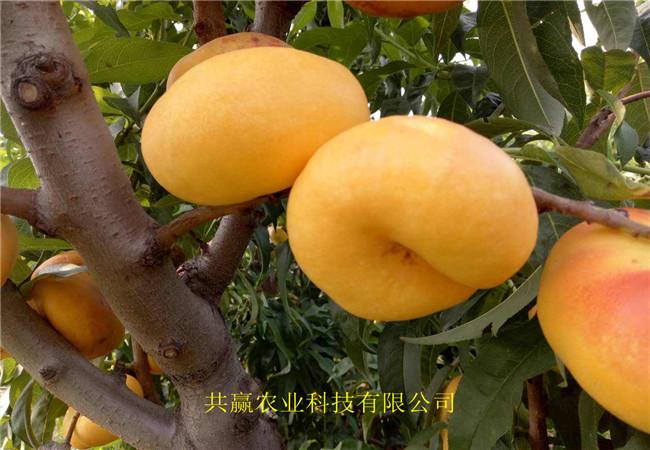 湖北襄樊6-6油蟠桃苗育苗基地報價