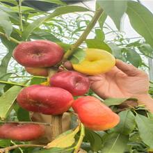 河北張家口6月成熟桃苗近期批發價格圖片