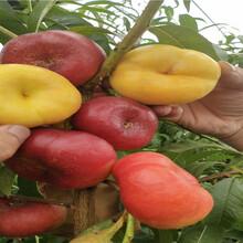 黃桃樹苗采購批發價圖片