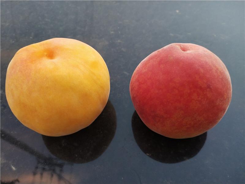 黃金密桃樹苗近期價格、黃金密桃樹苗基地