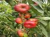 哪賣6-05油桃苗6-05油桃苗、6-05油桃苗樹苗地方有