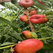 3公分1-21蟠桃樹苗品種介紹圖片