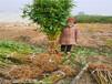早熟新品種桃苗賣的價格、早熟新品種桃苗基地