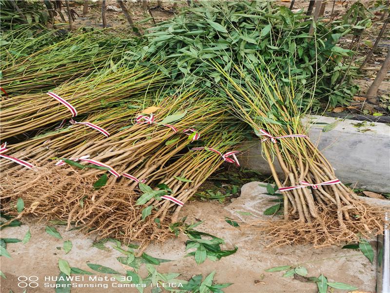 廣西來賓9月成熟桃苗近期批發價格