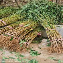 新疆石河子36-5蟠桃樹苗近期價格圖片