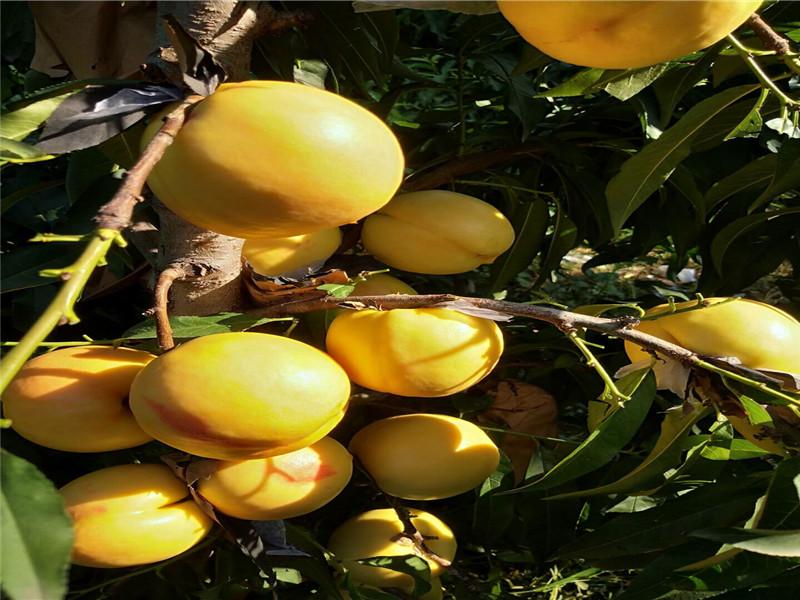 湖南長沙8月成熟桃苗這里賣的好