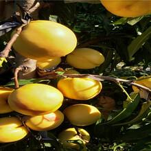 今年才賣5月成熟桃苗、5月成熟桃苗主產區報價圖片