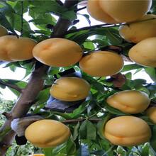8月成熟桃苗近期批發價格圖片