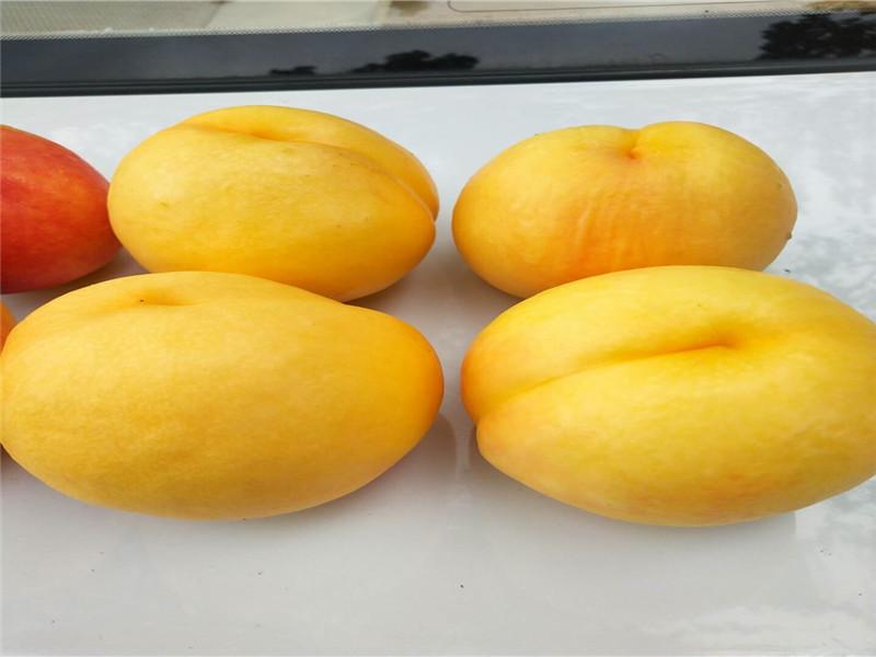 河南鄢陵蟠桃樹苗賣的價格