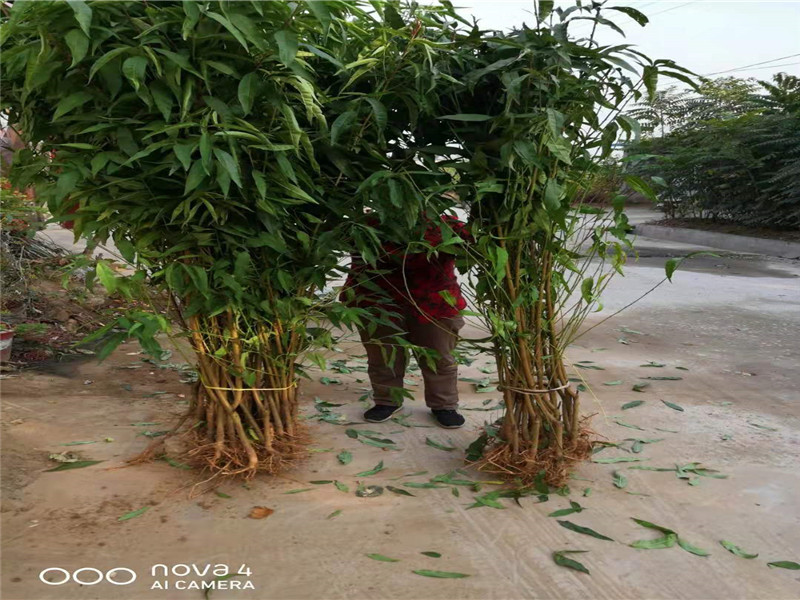 新疆阿拉爾晚熟桃樹苗采購批發價