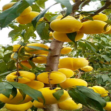 黃金密桃樹苗今年才賣、黃金密桃樹苗基地圖片