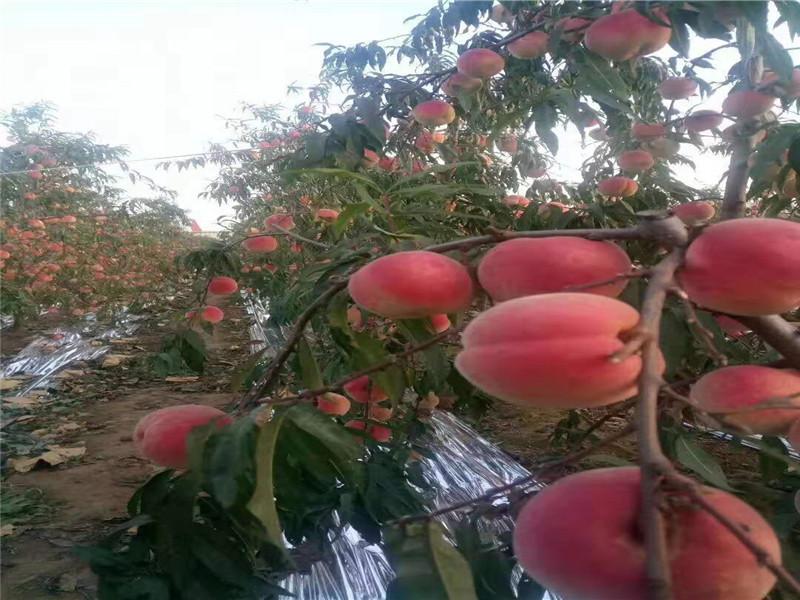 重慶銅梁冬雪桃樹樹苗主產區價格