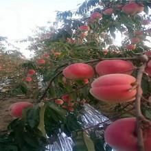 晚熟冬桃樹苗送貨報價、晚熟冬桃樹苗基地圖片
